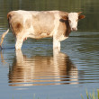 Royalty-Free Stock Photo: Spotted Cow is in the water
