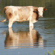 Spotted Cow is in the water — Stock Photo