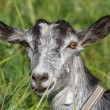 Portrait of a gray goat — Stock Photo