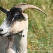 Portrait of a brown goat — Stock Photo