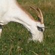 A white goat eats grass — Stock Photo