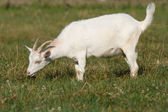 A goat grazing in the meadow — Stock Photo