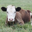 Cow calf lying in the grass — Stock Photo