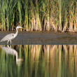 Stock Photo: Gray heron