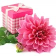 Pink dahlias and gift box isolated on white background — Stock Photo #12367191