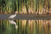 Gray heron — Stock Photo
