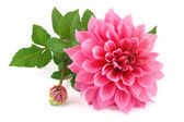 Pink dahlia isolated on white background — Stock Photo