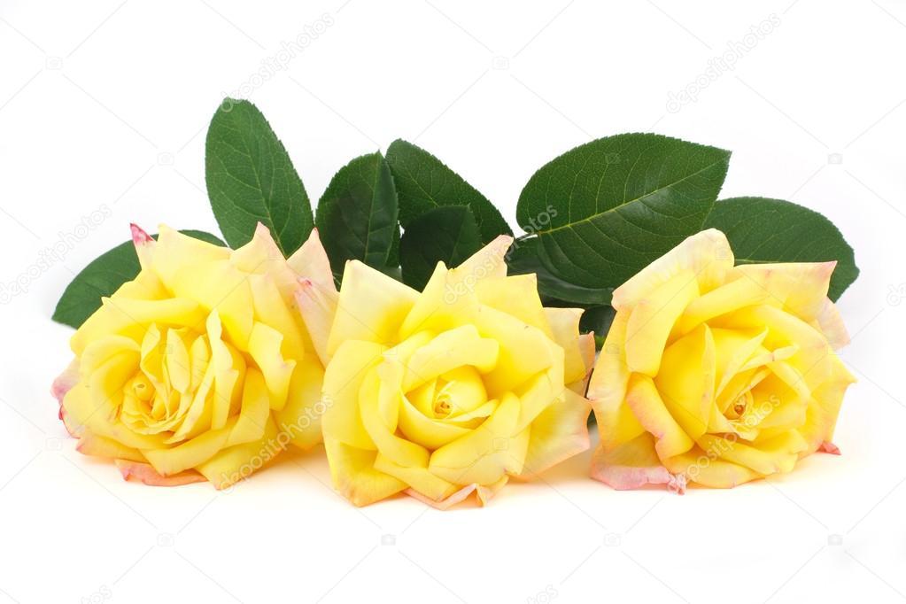 Three yellow roses isolated on white � Stock Photo � lenyvavsha ...