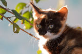 Small tricolor kitten — Stock Photo