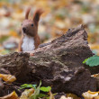 Wild squirrel hiding behind a tree stump in autumn - Stock Photo