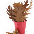 Oak leaves in a red bucket and acorns — Stock Photo