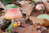 Clump of red Amanita mushrooms — Stock Photo