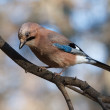 Eurasian Jay — Stock Photo #14543333