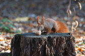 Squirrel on a tree stump with a nut — Stock Photo