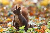 A curious squirrel. autumn — Stock Photo