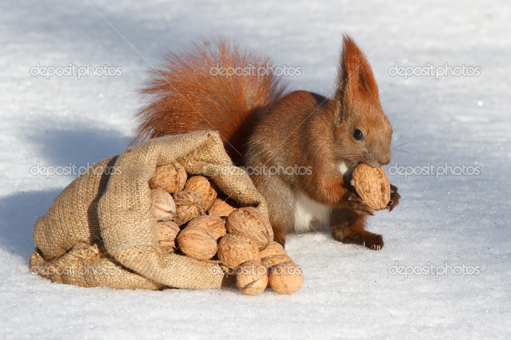 Bag of walnuts in the snow and red squirrel — Stock Photo #18137309