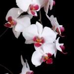 delikat orkidé närbild på mörk bakgrund. låg nyckel — Stockfoto