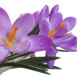 Blue flowers of spring. Crocus isolated on a white background — Stock Photo