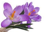 Blauwe bloemen van het voorjaar. Crocus geïsoleerd op een witte achtergrond — Stockfoto