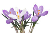 Bouquet of crocuses isolated on a white background — Stock Photo