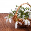 Snowdrop flowers in a basket close-up on wooden table background - Stock Photo