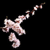 Branch with apricot flowers on a dark background. low key — Stock Photo
