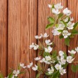 Blossoming twig of pear with young green leaves — Stock Photo