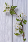 Sprig of flowering pear on a white wooden table — Stock Photo