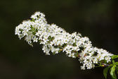 Beautiful branch of bird cherry tree blossoms — Stock Photo