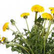 Yellow dandelion flowers with buds isolated on white background - Stock Photo