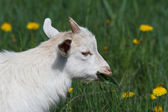 White goat eating leaves on a green meadow — Stock Photo