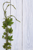 Young twig hops with sprouts and leaves on a wooden board — Stock Photo