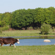 Brown cow on a summer pasture near the river — Stock Photo #25304163