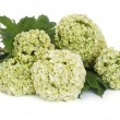 A Guelder rose  Viburnum opulus  flowers isolated on white - Stock Photo