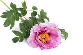 Tree peony pink flower isolated on white background — Stock Photo