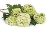 Guelder 玫瑰白色上孤立的琼花欧洲鲜花 — 图库照片