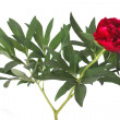 Red peony flower with green leaves isolated on white background — Stock Photo