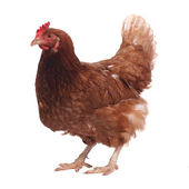 Beautiful purebred brown chicken isolated on white background — Stock Photo