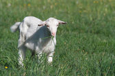 Small white goat chewing grass on a background of green — Stock Photo