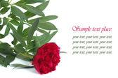 Flor de peônia vermelha com texto em fundo branco — Fotografia Stock