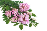 Pink flowers of acacia on a white background with soft shadow — Stock Photo