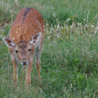Small cub spotted deer on a background of green grass — Stock Photo #27449257