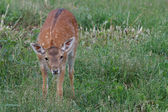 Małe lwiątko zauważył jelenia na tle zielonej trawie — Zdjęcie stockowe