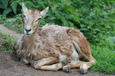 Mouflon young female resting in the pasture — Stock Photo