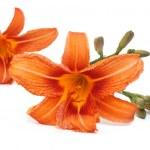 Two beautiful orange lily flower isolated on white background — Stock Photo