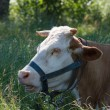 Cow in the tall grass on a summer pasture — Stock Photo #27674061