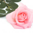 Stock Photo: Pink rose with leaves isolated on a white background.