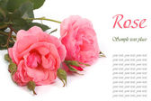 Pink roses isolated on a white background. — Stock Photo