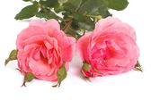 Two pink roses with buds isolated on a white background. — Photo