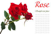 Three fresh red roses isolated on white background — Stock Photo
